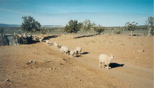 Sheep hearding